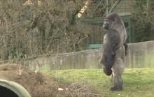 Khỉ đột gây sốt vì đi 2 chân như người