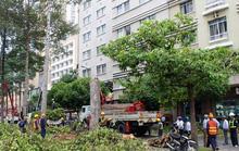 Đốn hạ nhiều cổ thụ ở Sài Gòn để xây ga ngầm Metro số 1
