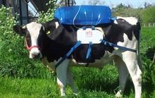 Lấy khí đánh rắm của bò sữa làm nhiên liệu xe hơi
