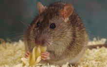 Chuột biết hối tiếc về quyết định sai lầm