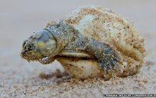 Rùa mẹ biết nói chuyện với rùa con mới nở