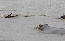 Hà mã đánh đuổi cá sấu cứu linh dương