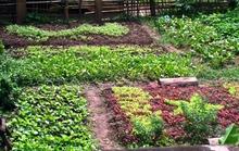 """Độc đáo vườn rau """"yêu nước"""""""