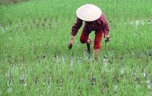 Lúa, rau đã phủ xanh vùng lũ