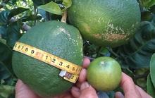 Kỳ lạ trái chanh to bằng... trái bưởi