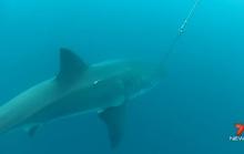 Cá mập trắng lượn quanh bãi biển, dân Úc hoảng sợ