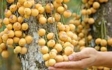 Giá 1.500 đồng/kg, dân miền Tây bỏ dâu chín rụng đầy vườn