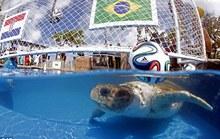 Rùa đầu to đoán Brazil thắng Croatia