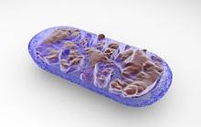 Chất chống ôxy hóa mới làm trẻ hóa mạch máu