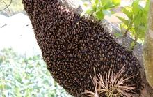 Phát rẫy, một người bị ong đốt chết
