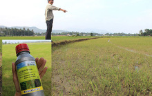 Phun thuốc diệt cỏ, lúa chết hàng loạt