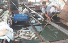 Cá bè trên sông Đồng Nai lại chết hàng loạt