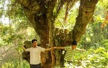 Rừng thiên tuế khổng lồ ở núi Cô Tô mới ngó đã mê