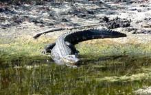 Giết 5 con cá sấu để đãi tiệc