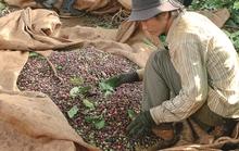 Xuất khẩu cà phê: Càng đấu càng thua?