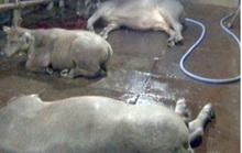 Bắt quả tang lò mổ bơm nước vào trâu, bò