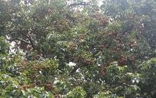 Cây vải 58 tuổi ở Lâm Đồng bắt đầu ra trái