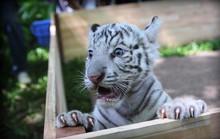Người Sài Gòn thích thú chụp hình cùng hổ trắng quý hiếm