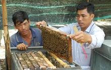 Về Đồng Tháp nuôi ong lấy mật làm giàu