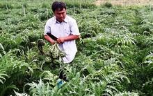 Bỏ TP HCM lên rừng trồng atisô