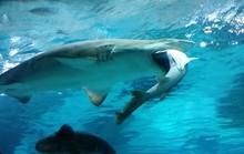 Kinh hoàng cá mập nuốt chửng đồng loại