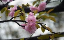 Hàng ngàn cành hoa anh đào khoe sắc giữa Hà Nội