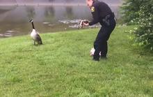 Bất ngờ cảnh ngỗng mẹ gọi cảnh sát cứu con