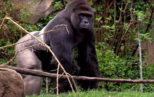 Tranh cãi quanh việc sở thú Mỹ bắn khỉ đột cứu bé trai