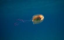 """Bức ảnh độc về chú cá bị """"nhốt"""" trong bụng sứa"""
