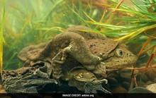 10.000 con ếch chết hàng loạt ở Peru