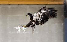 Cảnh sát Hà Lan huấn luyện đại bàng để diệt drone