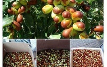 Dân Hà Nội tiêu thụ mạnh táo tàu tươi