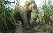 Lần đầu tiên, voi mang thai trong môi trường bán hoang dã
