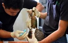 Hơn 200 con tê tê quý hiếm được gắn chíp tái thả về rừng
