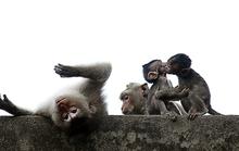 Đàn khỉ ở chùa núi Châu Thới bị săn bắt trộm