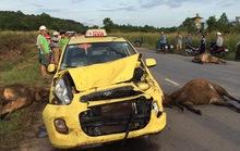 Taxi tông chết 3 con bò, tài xế may mắn thoát nạn