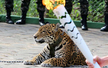 Báo đốm bị giết trong lễ rước đuốc Olympic ở Brazil