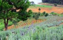 Đồi hoa lavender Đà Lạt gây sốt
