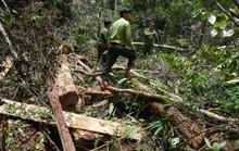 Quảng Nam: Khởi tố vụ án phá rừng pơmu