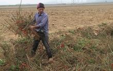 Trắng tay vì trồng ớt