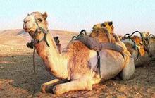 Bị bỏ ngoài trời nóng, lạc đà nổi điên cắn đứt đầu chủ