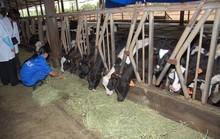 Thắng lớn nhờ cám, xúc xích, bò...