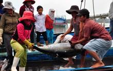 Cá đầy khoang, ngư dân Quảng Ngãi vẫn khóc ròng