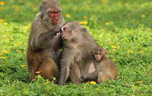 Đầu năm, lai rai… chuyện khỉ