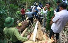 Cận cảnh hiện trường vụ phá rừng pơ mu trăm tuổi