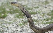 Trung Quốc: Náo loạn vì rắn hổ mang xổng chuồng hàng loạt