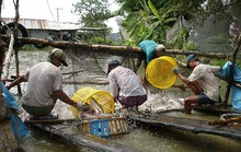 Giá xuất khẩu thủy sản giảm do mất cân đối cung cầu