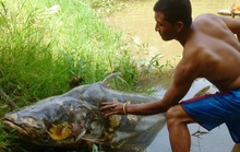 Suýt mất mạng vì bị cá tra đâm thấu ngực