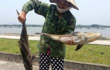 Cá lồng ở cửa biển Thanh Hóa chết bất thường hàng loạt