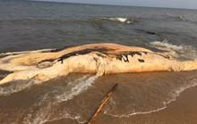 Xác cá voi khổng lồ dạt vào bờ biển Quảng Bình